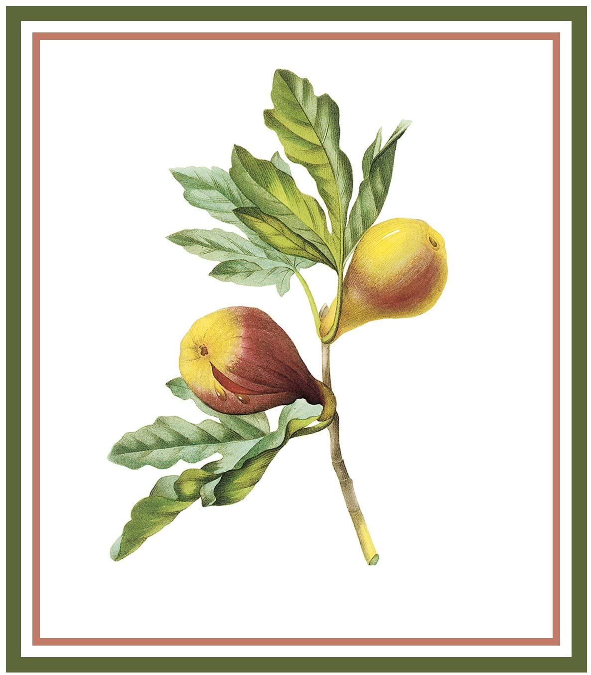 Orenco Originals Figs Botanical by Pierre-Joseph Redoute Counted Cross Stitch Pattern