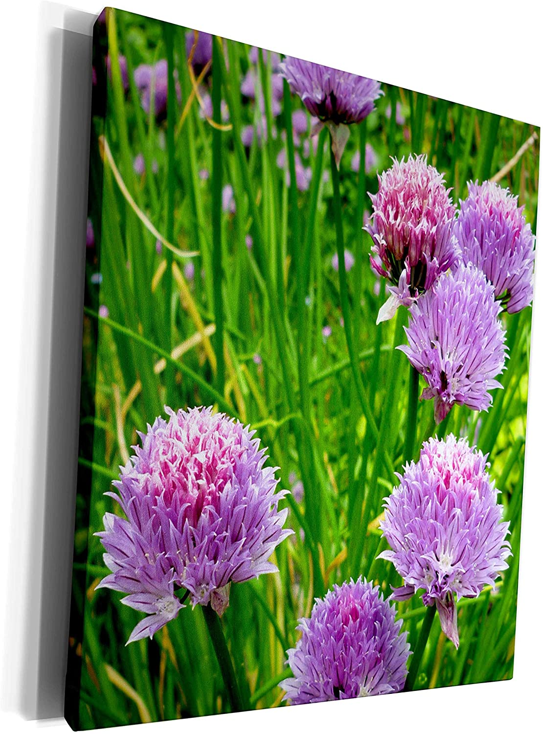 3dRose Russ Billington Photography - Image of Chives Flowering in Summer - Museum Grade Canvas Wrap (cw_293744_1)