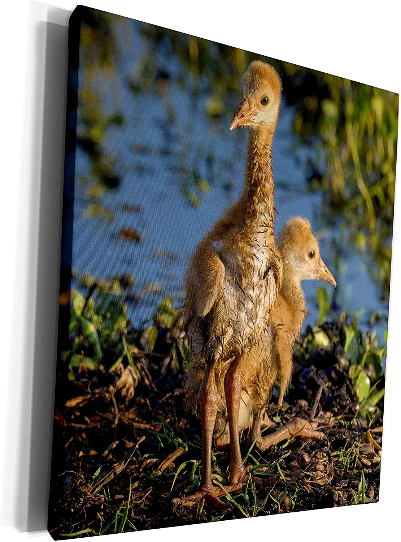 3dRose Danita Delimont - Sandhill Crane - Sandhill Crane colts on nest, Grus canadensis, Florida - Museum Grade Canvas Wrap (cw_250767_1)