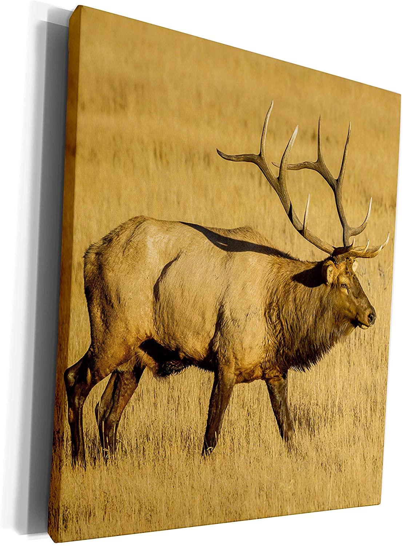 3dRose Danita Delimont - Elk - USA, Colorado, Rocky Mountain NP. Close up of male elk in field. - Museum Grade Canvas Wrap (cw_278724_1)