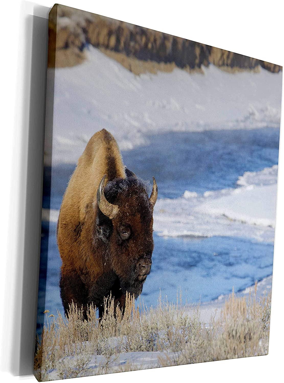 3dRose Danita Delimont - Bison - Bison Bull. Late Winter - Museum Grade Canvas Wrap (cw_260646_1)