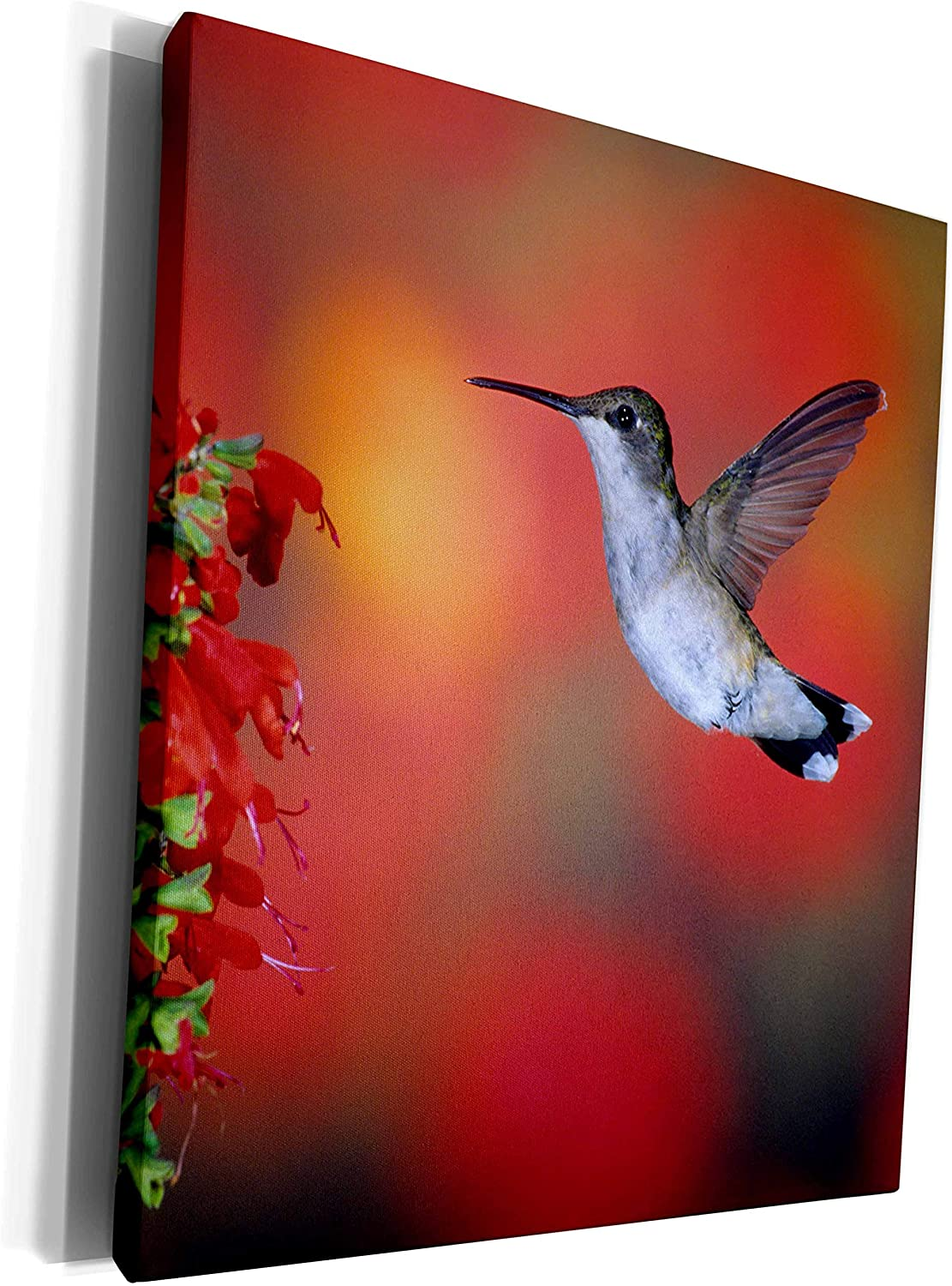 3dRose Danita Delimont - Hummingbird - Ruby-throated Hummingbird on Scarlet Sage, Marion County, Illinois - Museum Grade Canvas Wrap (cw_250985_1)