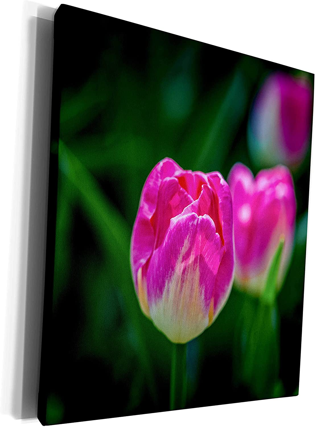 3dRose Alexis Photography - Flowers Tulip - Pink and beige tulip flower, dark green background - Museum Grade Canvas Wrap (cw_270715_1)