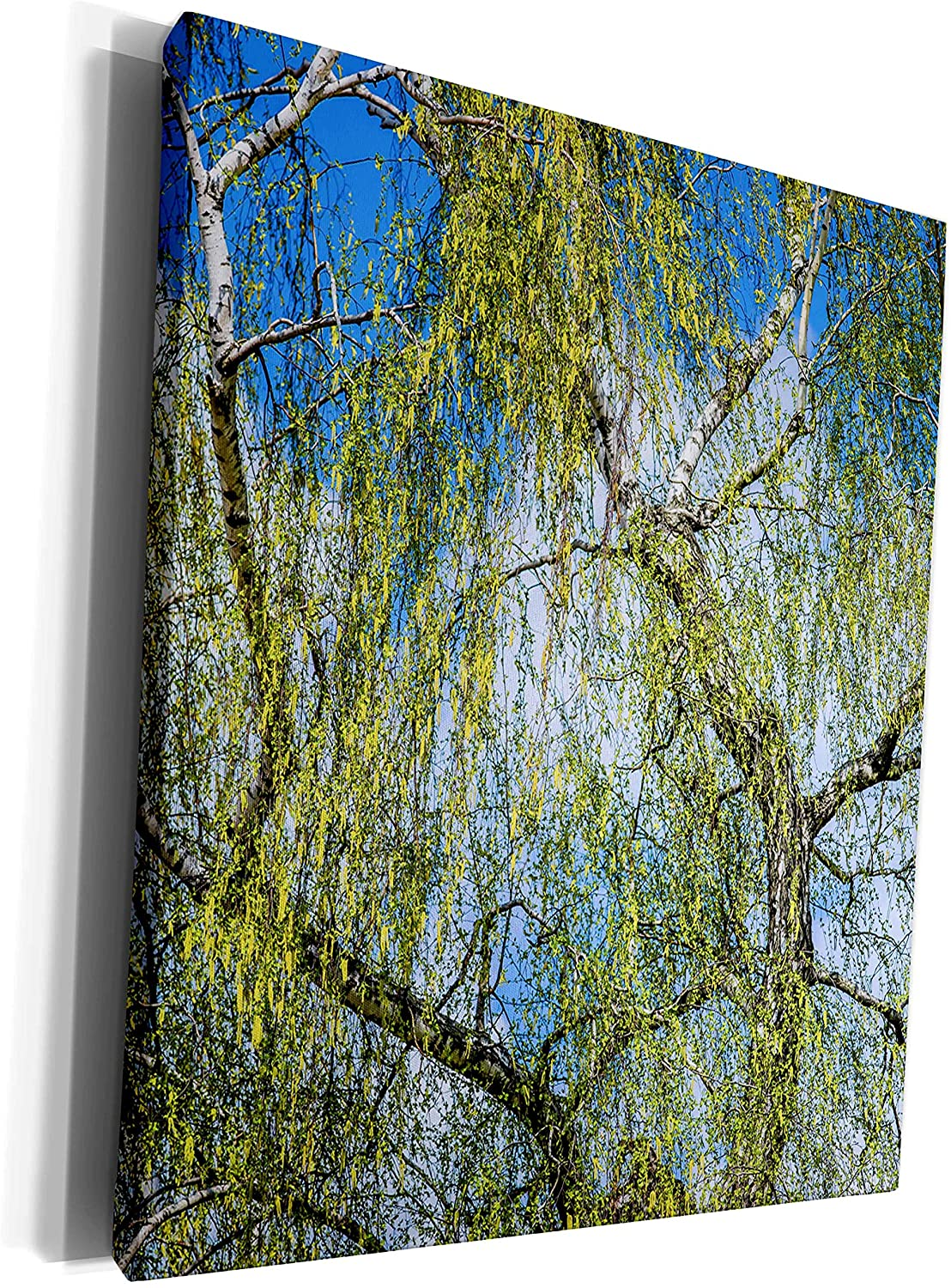 3dRose Alexis Photography - Seasons Spring - Birch tree catkins in bloom, blue sky, white cloud, spring season - Museum Grade Canvas Wrap (cw_281202_1)