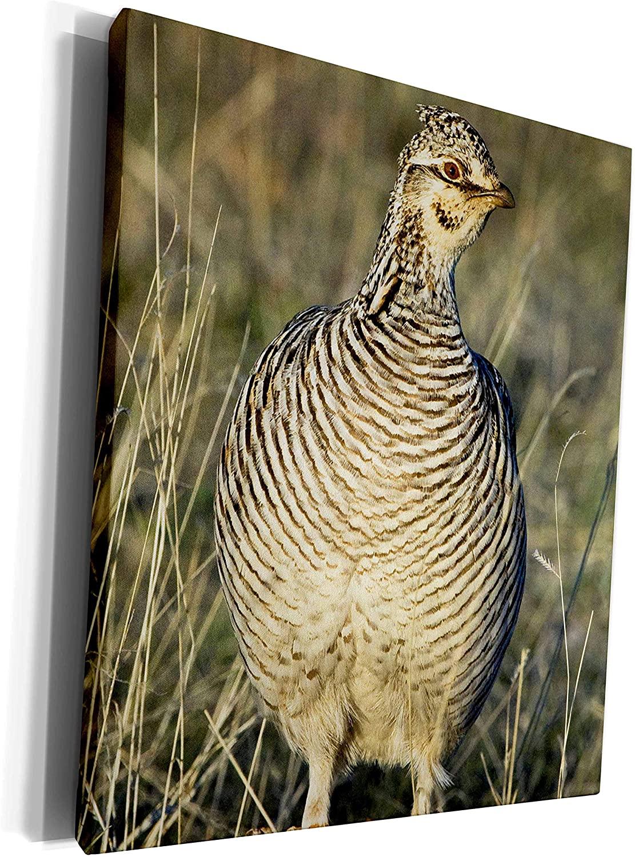 3dRose Danita Delimont - Birds - Texas, Lipscomb. Lesser prairie chicken wildlife - US44 BJA0009 - Jaynes Gallery - Museum Grade Canvas Wrap (cw_94362_1)