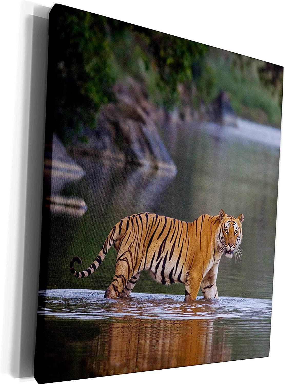 3dRose Danita Delimont - Tigers - Royal Bengal Tiger, crossing the river Ramganga. - Museum Grade Canvas Wrap (cw_209118_1)