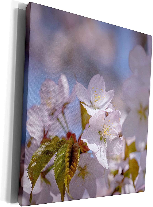 3dRose Alexis Photography - Flowers Sakura Beautiful - Cluster of soft pink sakura flowers, fresh leaves soft background - Museum Grade Canvas Wrap (cw_286628_1)