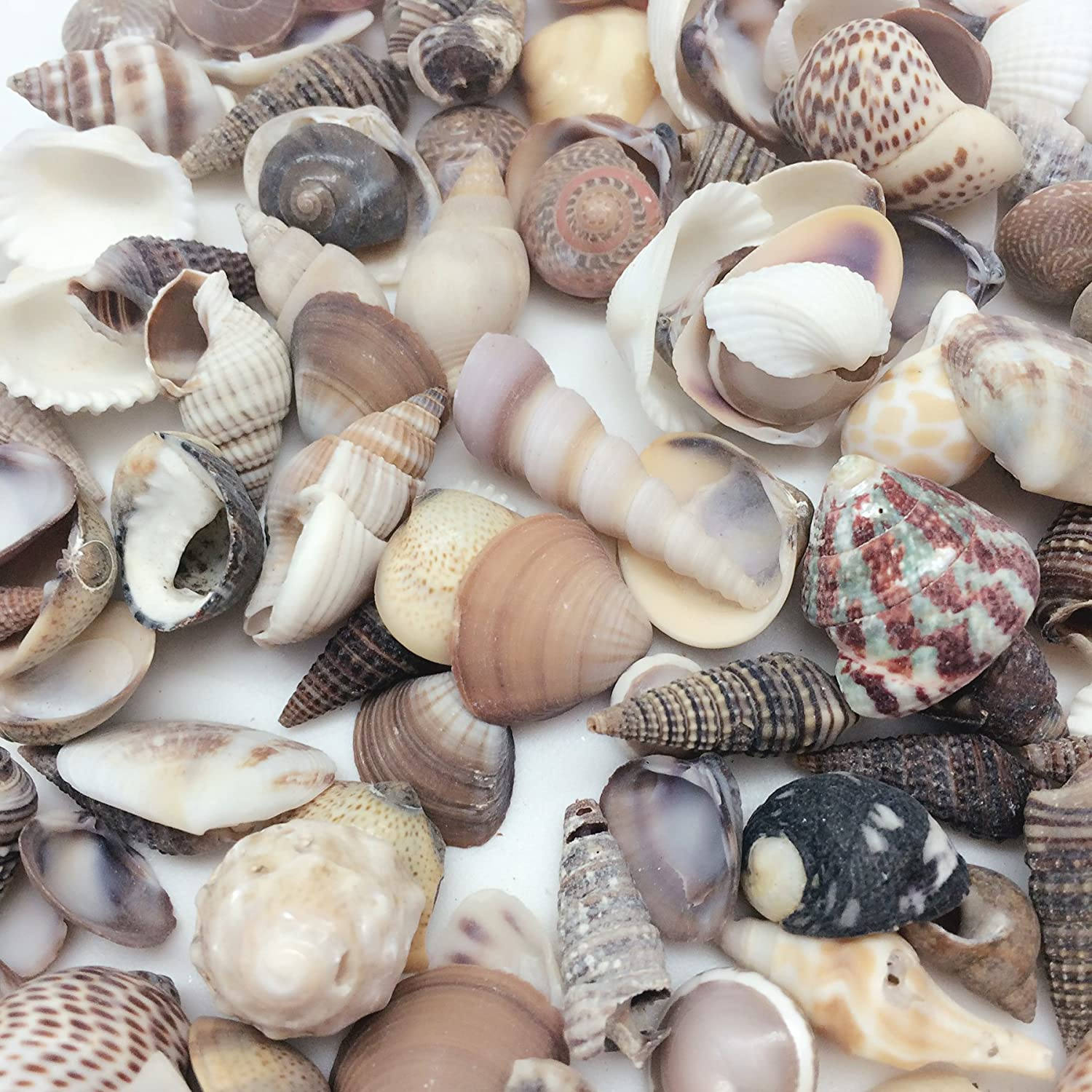 PEPPERLONELY India Natural Sea Shells Mixed, Small, 1/2 Inch to 1-1/2 Inch in Sizes, 8 oz, Apprx. 380PC+ Shells