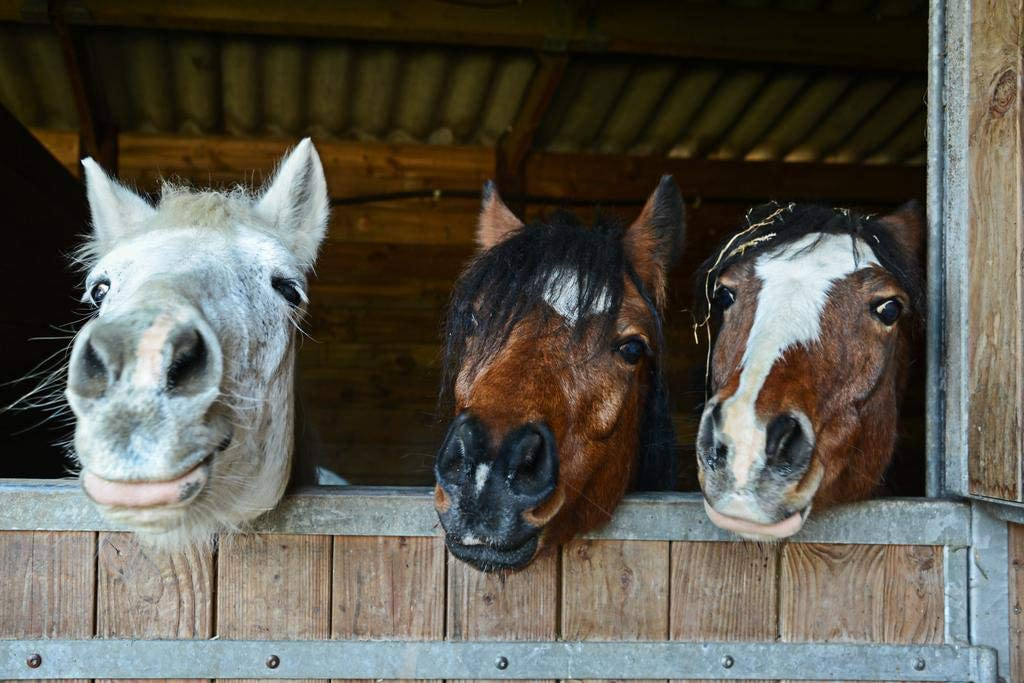 Happy Horse Faces in Stable Animal Potraits on Farm Photo Cool Wall Decor Art Print Poster 36x24