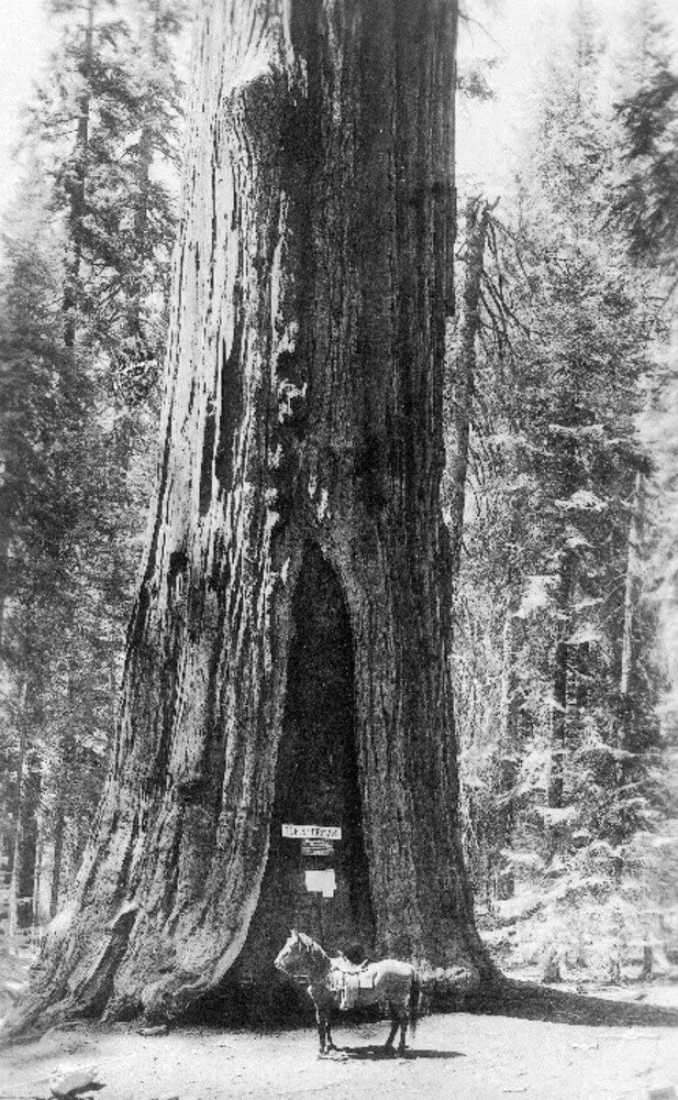 Sequoia National Park, California - View of General Sherman Tree with Horse (12x18 Art Print, Wall Decor Travel Poster)
