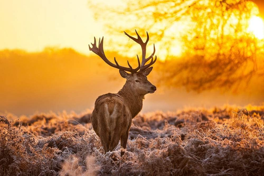 Art Print on Canvas Wall Decor Poster (deer sunset trees yellow winter) Size:24x36inch
