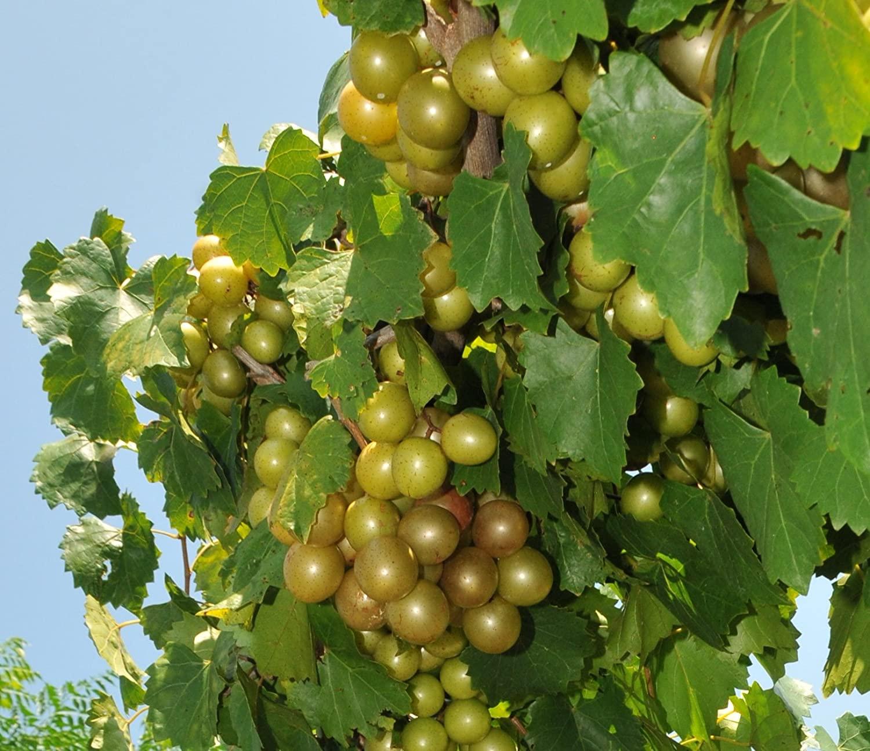 (1 Gallon) Carlos Muscadine Grape Vines Shrub Live Plants, Self Fertile, Bronze