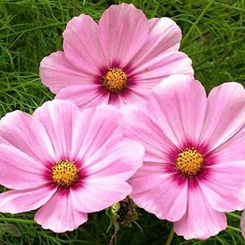 Davids Garden Seeds Flower Cosmos Gloria SL3275 (Pink) 200 Non-GMO, Open Pollinated Seeds