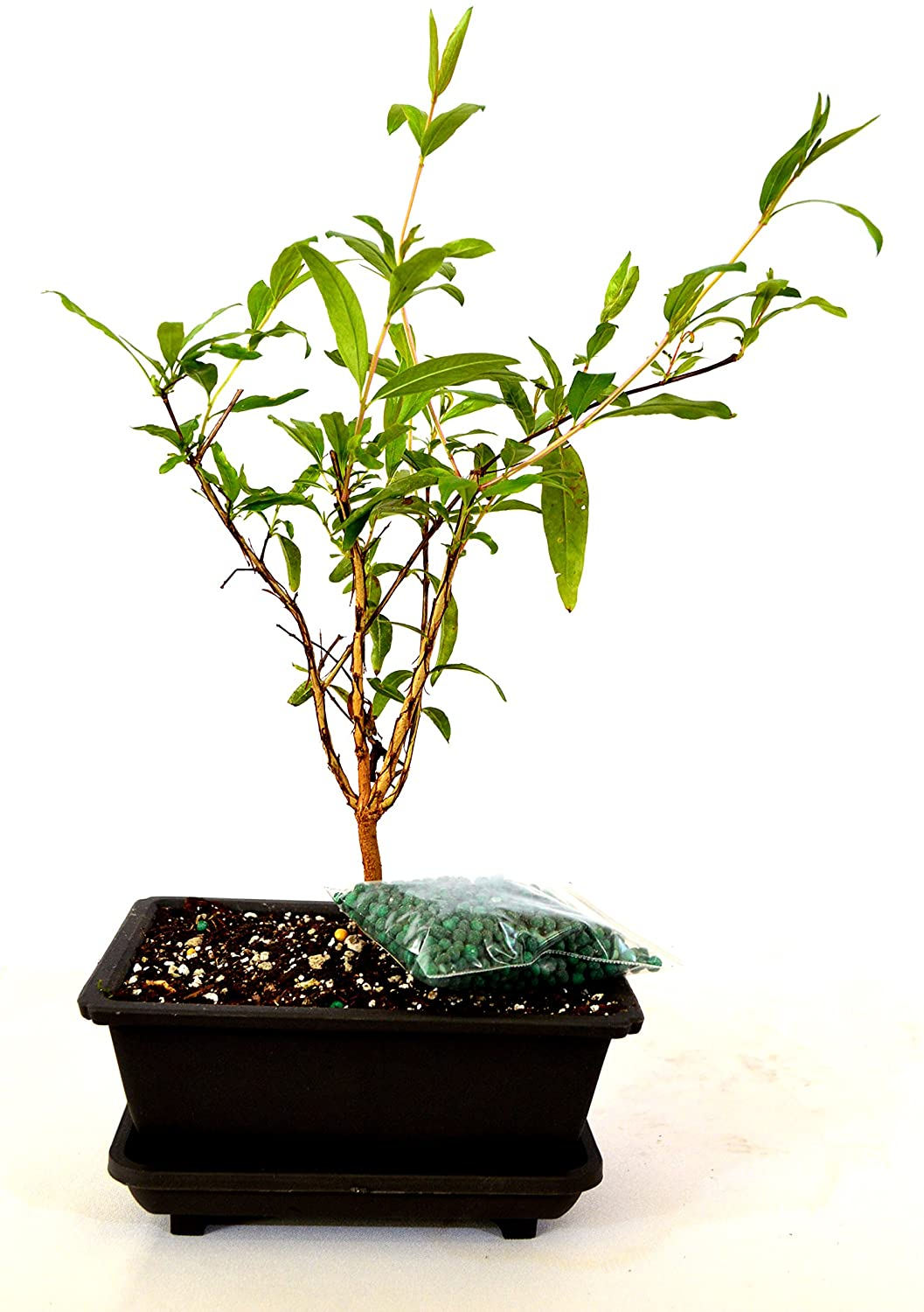 9GreenBox - Dwarf Pomegranate Mame Bonsai with Water Tray and Fertilizer Live Plant Ornament Decor for Home, Kitchen, Office, Table, Desk - Attracts Zen, Luck, Good Fortune - Non-GMO, Grown in the USA