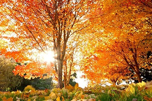 Sun light through autumn tree (No.010294) Poster Art Print on Canvas 30x20 inch