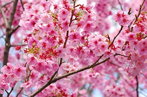 Flowering trees Sakura Branches Pink color (No.010089) Poster Art Print on Canvas 36x24 inch