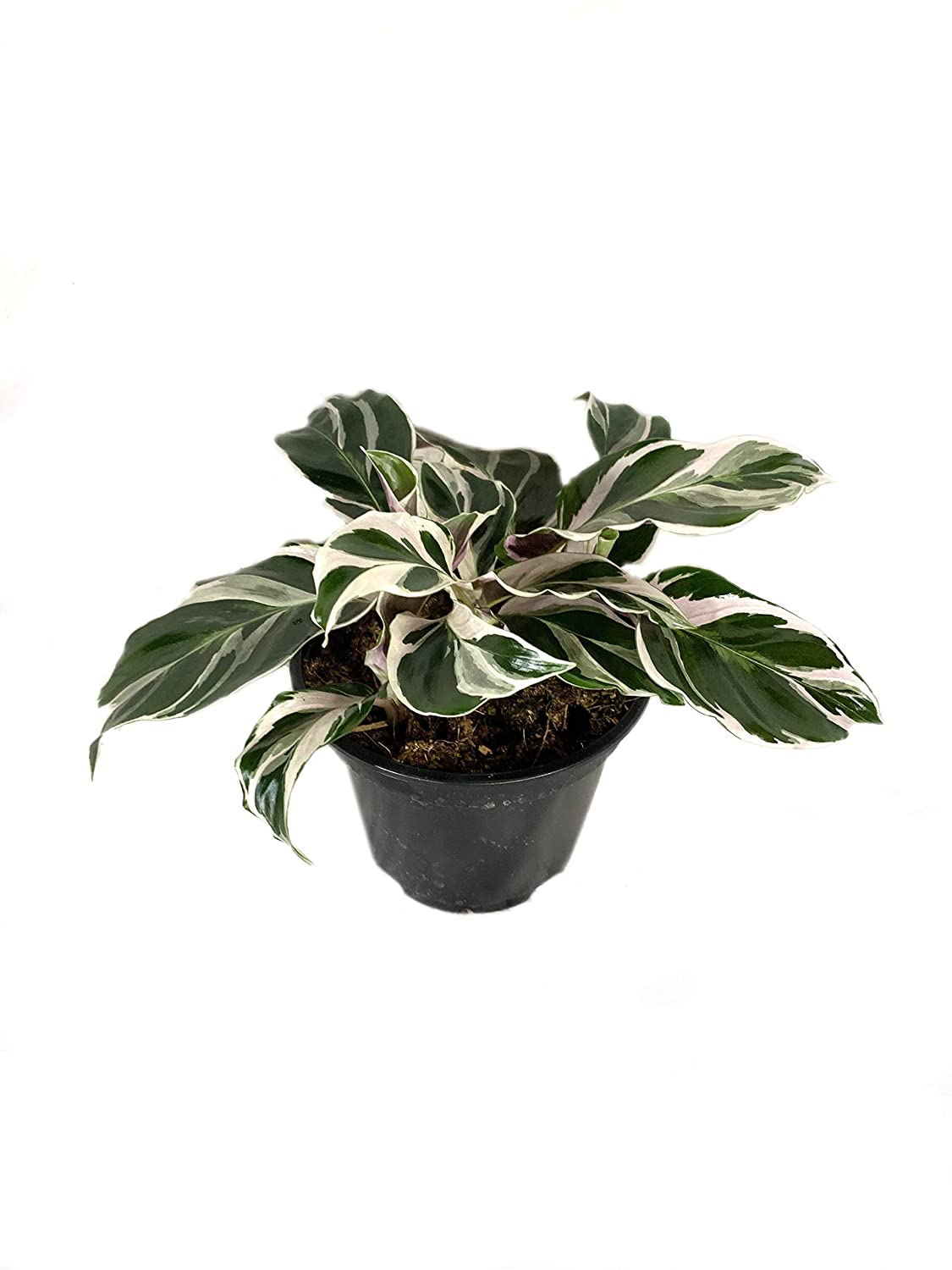 Fusion White Peacock Plant - 3 Live Plants in 4 Inch Pots - Calathea Hybrid - Beautiful Easy Care Indoor Tropical Houseplant