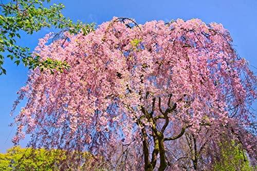 Flowering trees Sakura Trees (No.011075) - Poster Art Print on Canvas 24x16 inch