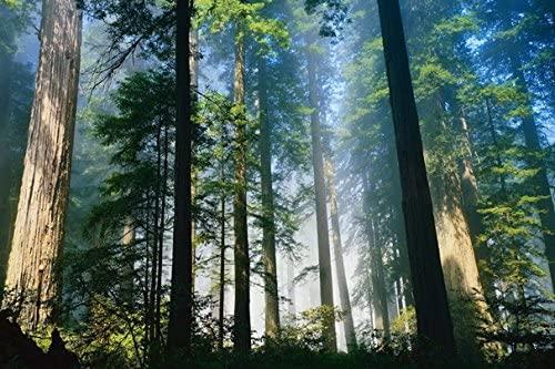 Trees wood fog morning awakening summer (No.010319) Poster Art Print on Canvas 24x16 inch