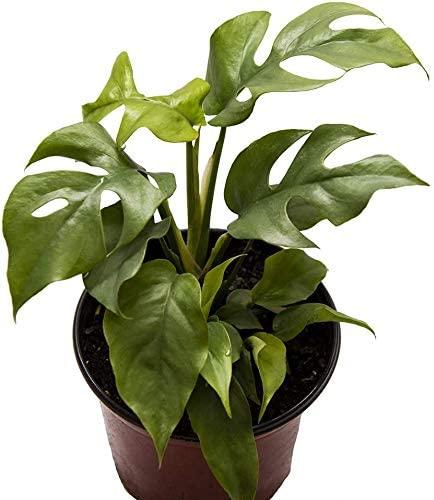 AMERICAN PLANT EXCHANGE Rhaphidophora Tetrasperma AKA Mini Monstera/Ginny Live Plant, 6