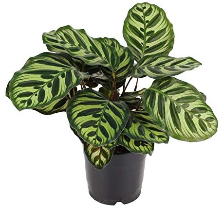 Peacock Plant - Live Plant in a 6 Inch Pot - Calathea Makoyana- Beautiful Easy to Grow Air Purifying Indoor Plant (1 Plant)