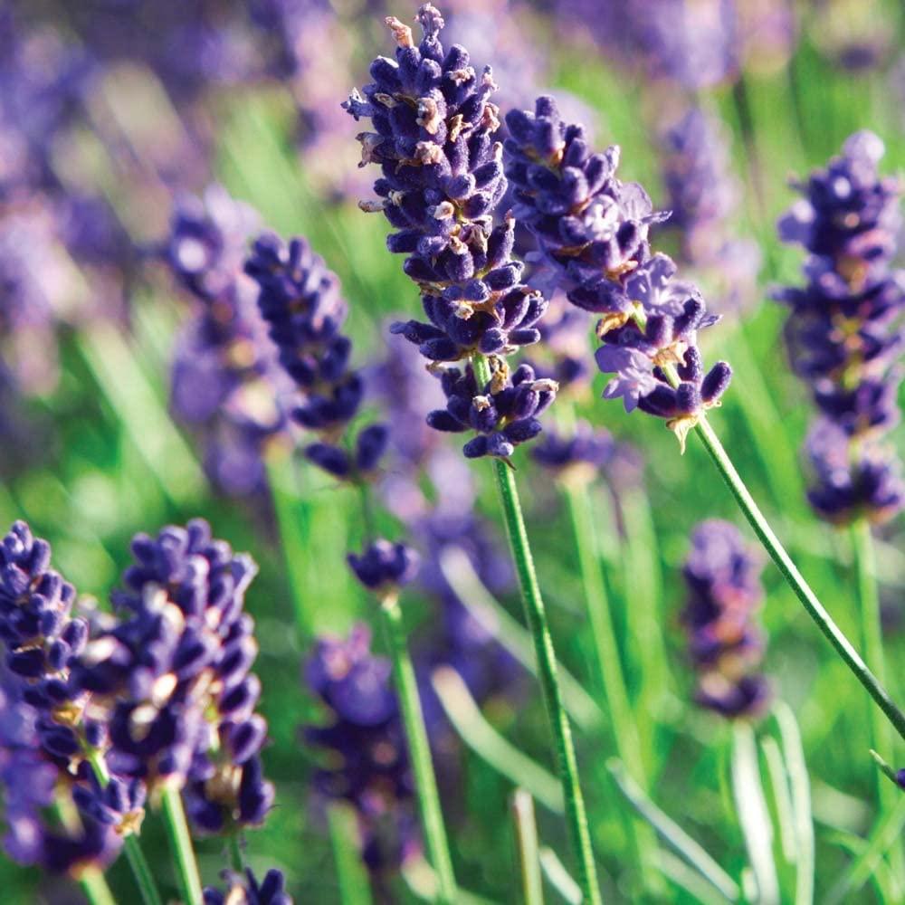 Findlavender - Lavender MUNSTEAD (Dark Purple Flowers) - 4 Size Pot - Zones 5-9 - Bee Friendly - Attract Butterfly - Evergreen Plant - 36 Live Plant
