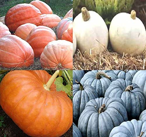 Big Pack (80-90+) Dill Atlantic Giant, Casper White, Cinderella Rouge VIF DEtampes, Jarrahdale Blue Pumpkin Seeds - Non-GMO Seeds by MySeeds.Co (Big Pack - Pumpkin Mix II)