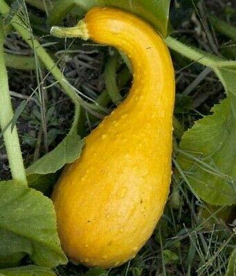 Squash Seeds 30+ Golden CROOKNECK Yellow Summer Garden Vegetables