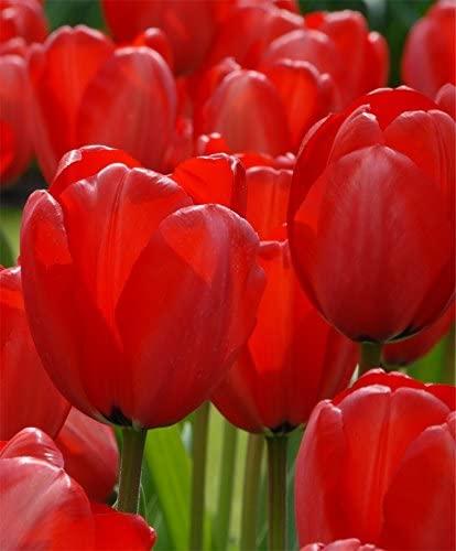 PRE-Order for Fall (ILR) Bulk 100 (Bulbs) Tulip (Red Impression)