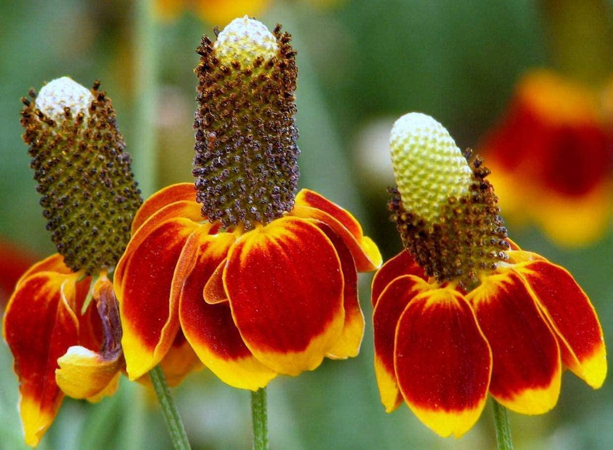 Naturegreen Park - 1 oz Mexican Hat Seeds, Heirloom Daisy Seeds, Bulk Wildflower Seeds 52,000ct - Flower Decoration Vegetable Plant Seedling for Your Garden