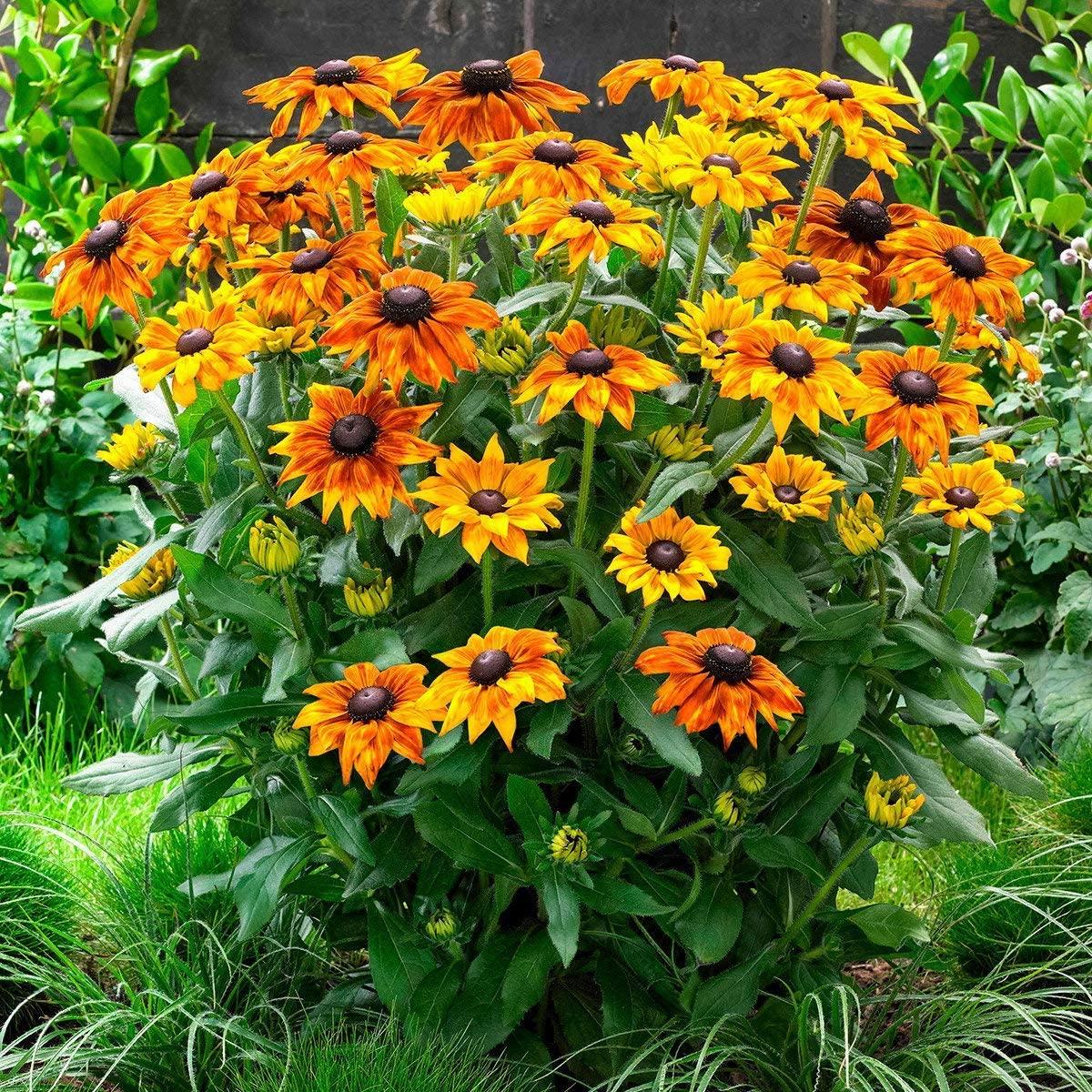 Garden Rare 50pcs Rudbeckia hirta Cappuccino Gloriosa Daisy Seeds Easy to Grow, Exotic Flower Seeds Hardy Perennial Garden