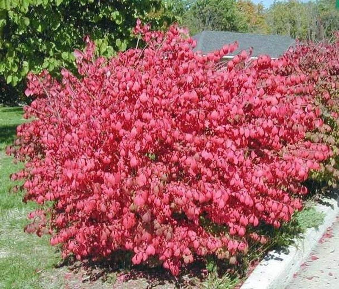 Dwarf Burning Bush Live Plant (ASF) (Euonymus Alatus) (1 Plant (ASF) in 4