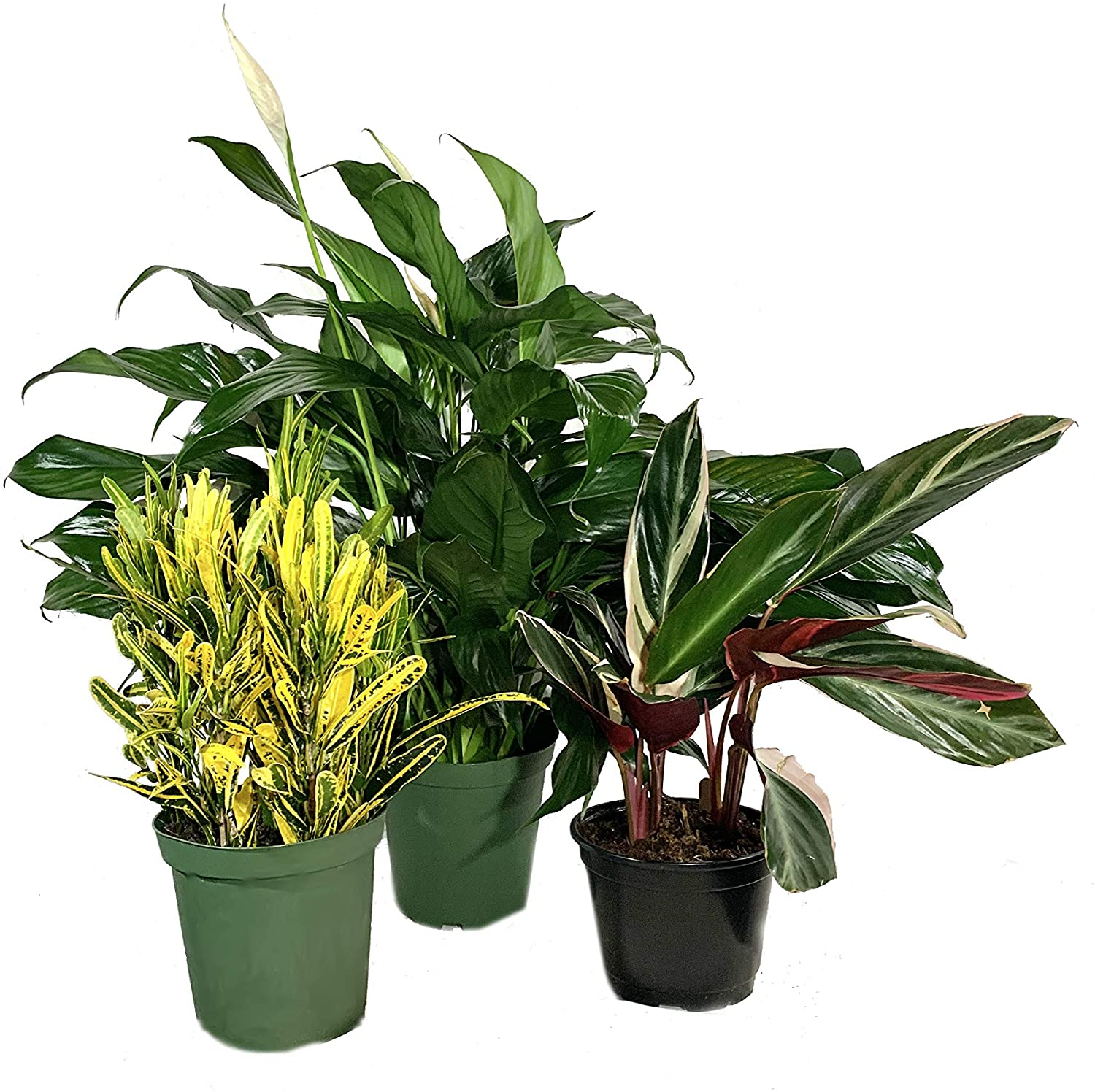 Colorful Houseplant Multi-Pack - 3 Live Plants in 6 Inch Pots - Stromanthe Triostar, Banana Croton, Spathiphyllum Peace Lily - Easy Care Indoor Houseplants