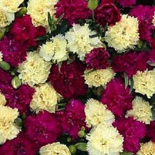 Toyensnow - Fizz BANANABERRY Carnation Flower Seeds/Dianthus/Perennial/Fragrant (30+ Seeds)