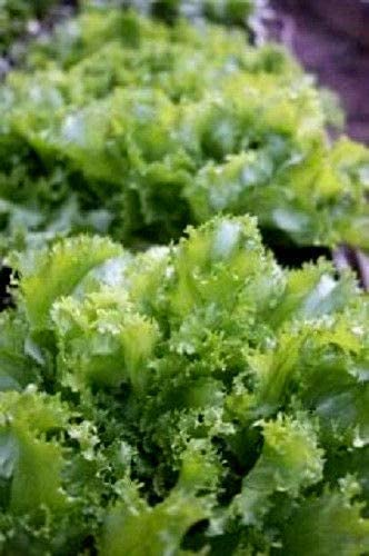 Toyensnow - Green Moss Curled Endive/ESCAROLE (3000 Seeds)