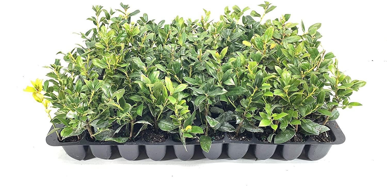Needlepoint Chinese Holly - Ilex Cornuta - 20 Live Plants - Low Maintenance Screening Evergreen