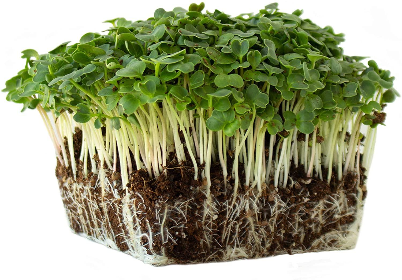 Champion Radish Seeds - 8 Gram Seed Packet - Heirloom Garden Seeds, Non-GMO, AAS Winner - Vegetable Gardening and Microgreens