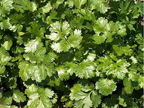 Toyensnow - Coriander Leisure Cilantro Seeds - Microgreens or Planting (16K Seeds or 1/2 LB)