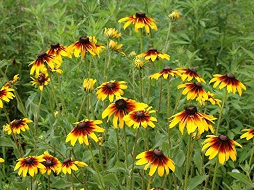 Toyensnow - Gloriosa Daisy Seeds - Black-Eyed Susan (1.6 Million Seeds or 1 LB)