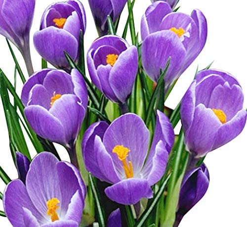 10 Purple Crocus Corms