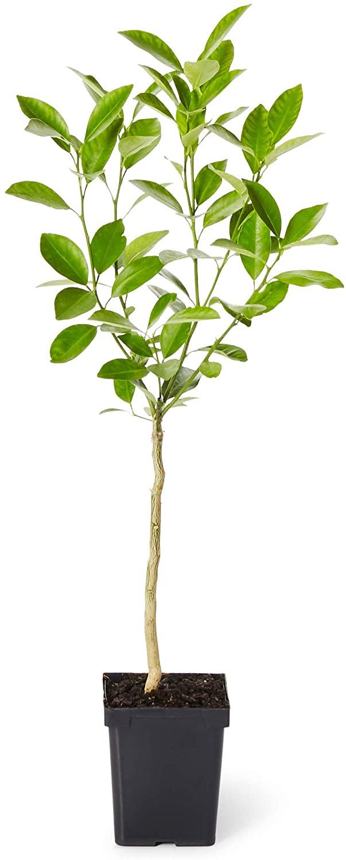 Brighter Blooms - Cara Cara Orange Tree - Outdoor Fruit Plant, No Shipping to AZ, CA, FL, GA, LA, or TX (1-2 ft.)
