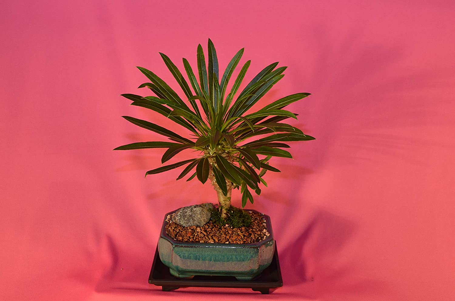 Indoor Bonsai, MADAGASCAR PALM, 6 Years Old, Flowers, Broom Style.