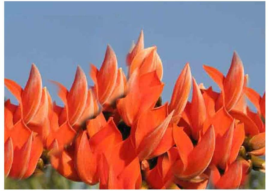 Butea Monosperma 5 Seeds Flame of The Forest Tree Stunning Orange Blossom Aromatic Blooms in Winter Container Gardening