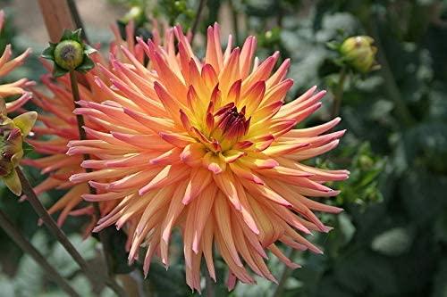 Toyensnow - Cactus Double Dahlia Mix Variabilis Mixed Colors Hummingbird Flower (25 Seeds)