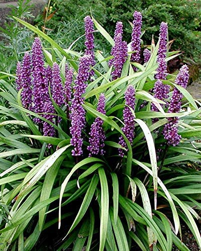 Super Blue Lilyturf - 3 Live 6 Inch Plants - Liriope Muscari Super Blue - Drought Tolerant Evergreen