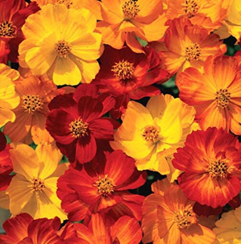 Naturegreen Park - Mixed Cosmos Seeds, Fiery Sunset, Sulfur Cosmos, Shorter Variety, Non-GMO, 75ct - Flower Decoration Vegetable Plant Seedling for Your Garden