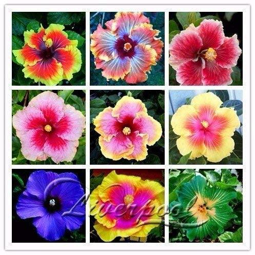 Seeds Market Rare 100 Giant Hibiscus Flower Seeds Hardy Look Good Year Round Garden DIY Home Garden Flower Pot or Plant Yard
