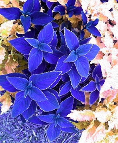 Garden Rare 100pcs Coleus Plants Great Falls Angel Seeds Easy to Grow, Exotic Flower Seeds Hardy Perennial Garden
