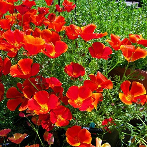 Naturegreen Park - 1/4 oz Red Chief Poppy Seeds, Red Chief Poppies, Bulk Flower Seed, About 4,000 - Flower Decoration Vegetable Plant Seedling for Your Garden