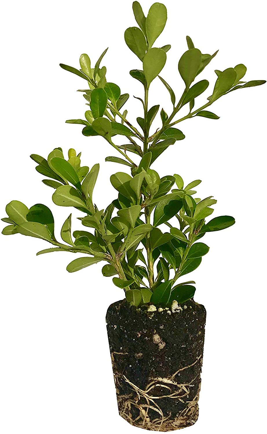 Japanese Boxwood - 60 Live Plants - Buxus Fast Growing Cold Hardy Evergreen Shrub